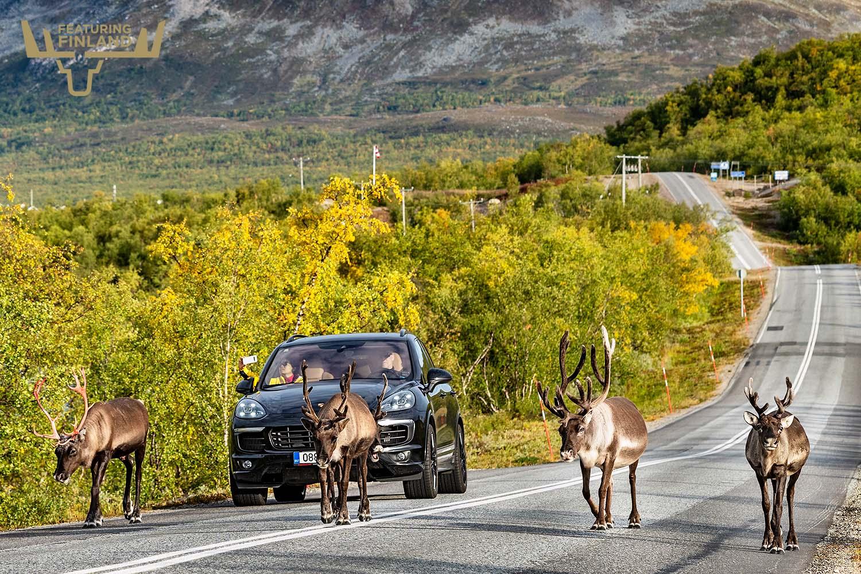 reindeer on road lapland