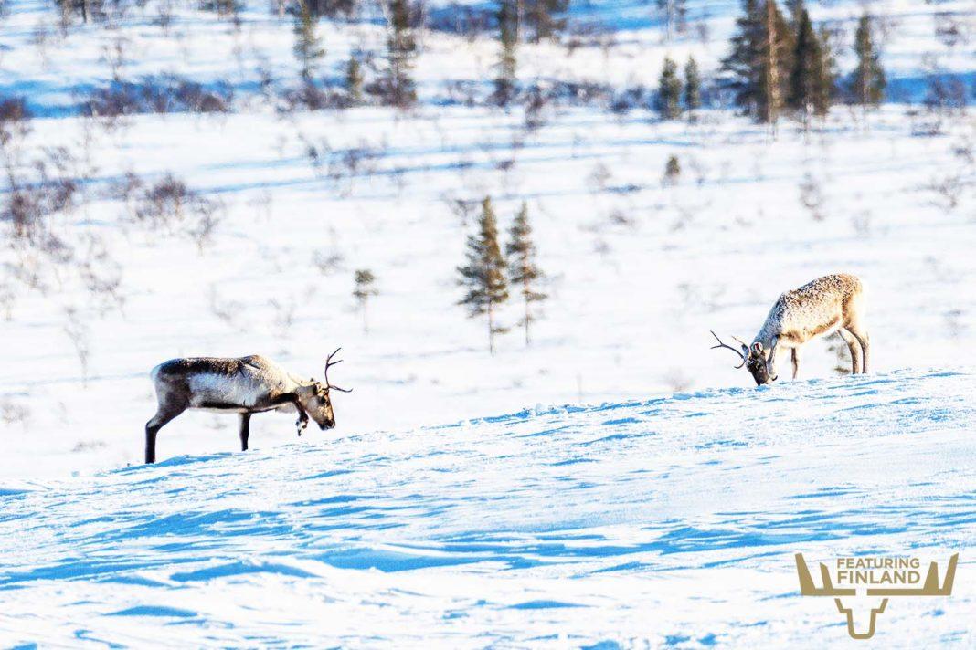 reindeer lapland