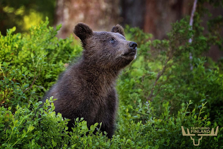 baby bear finland