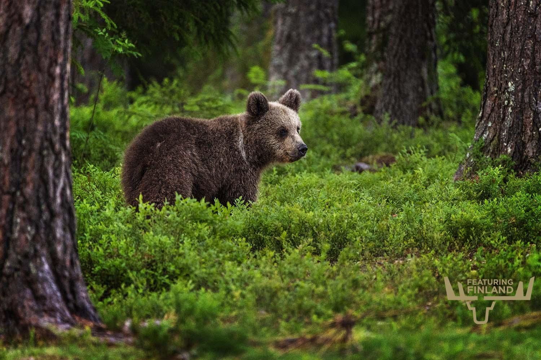 bear watching finland